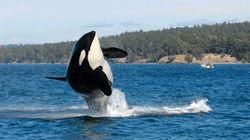 '세계 최장수' 범고래가