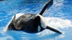 '돌고래쇼의 비윤리성'을 세계에 폭로한 범고래가