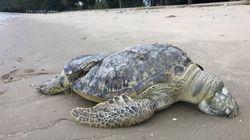 싱가포르 해변에서 몸이 잘린 거북이가
