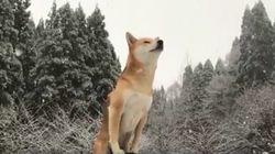 눈을 맞는 시바견의 감동적인 영상이 당신의 겨울 감성을 깨울