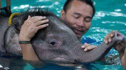 태국인들이 왼발 잃은 새끼 코끼리에게 해준 것(사진,