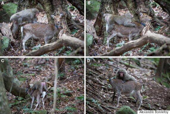 원숭이가 사슴과 섹스하려 한 이유를 과학자들이