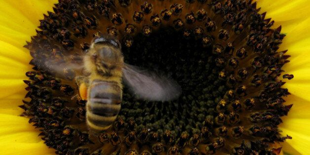 A bee lands on a sunflower to gather pollen in Encinitas, California June 23, 2009. REUTERS/Mike Blake/File