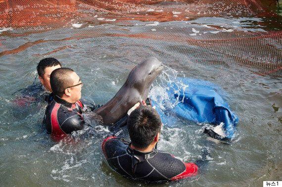 토종돌고래 상괭이 1,300마리가 매년 혼획으로