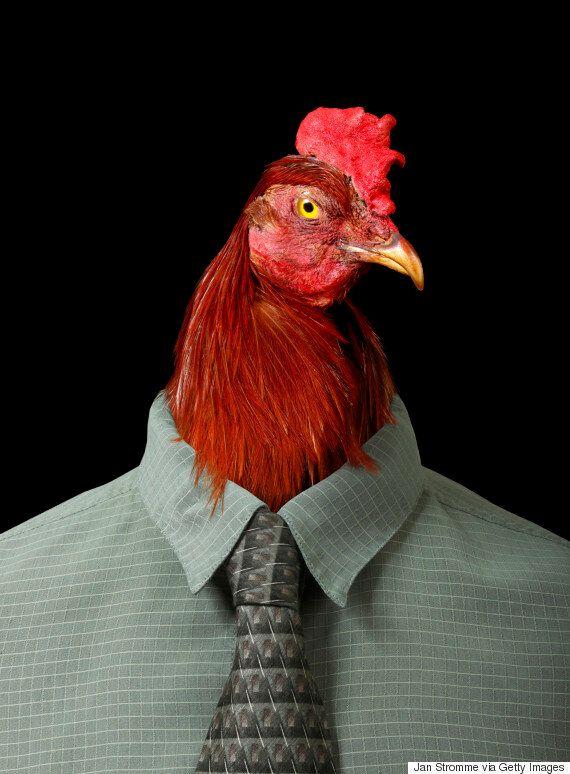 닭은 사실 7세 아이 수준으로 똑똑하다는 연구결과가