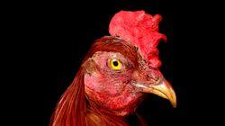 닭은 사실 7세 아이 만큼 영리한