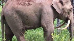 멸종위기의 희귀코끼리가