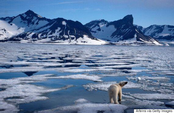 북극곰은 북극의 굶주린 기후