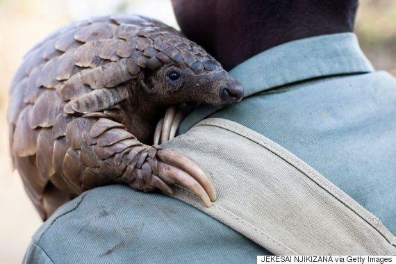 세계에서 가장 많이 불법 유통되는 포유류 천산갑이 중국에서 3톤 이상