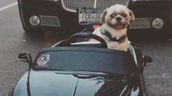 이 강아지는 각종 슈퍼카를 보유하고 뉴욕 시내를 질주한다 (사진,