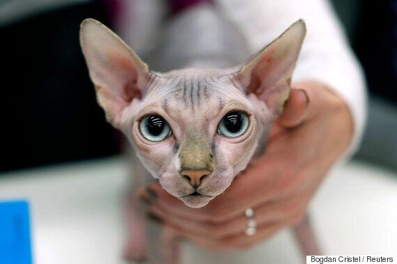 누군가 멀쩡한 고양이를 이발해 스핑크스 고양이로 팔고