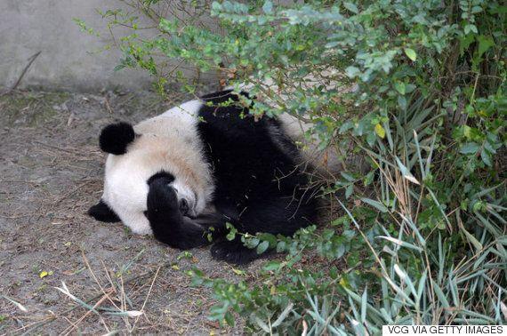 미국에서 태어나고 자란 쌍둥이 판다가 중국에서 '문화 충격'을 겪고