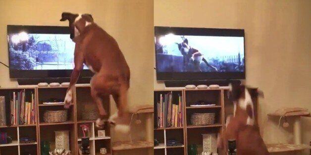 트램폴린에서 뛰는 TV 속 개를 보고 이 개도 따라뛰기