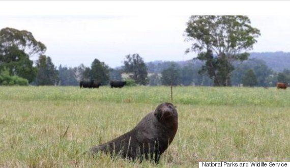 초원에 소와 물개가 함께 있는 이 사진은 착시가