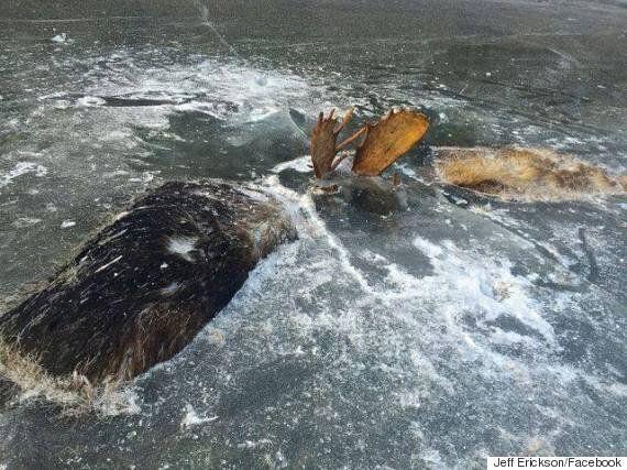 두 마리의 사슴이 싸우던 상태로