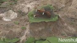뉴질랜드 지진으로 소들이