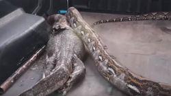 대형 비단뱀이 몇 배 더 굵직한 왕도마뱀을 통째로