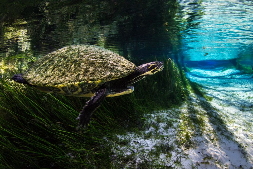 A Suwannee cooter swims out of the vegetation and into the spring run at Blue