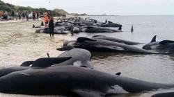 뉴질랜드 해변에서 300여마리의 고래가