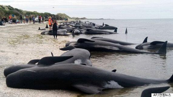 300여마리의 고래가 뉴질랜드의 해변으로 휩쓸려 왔다가