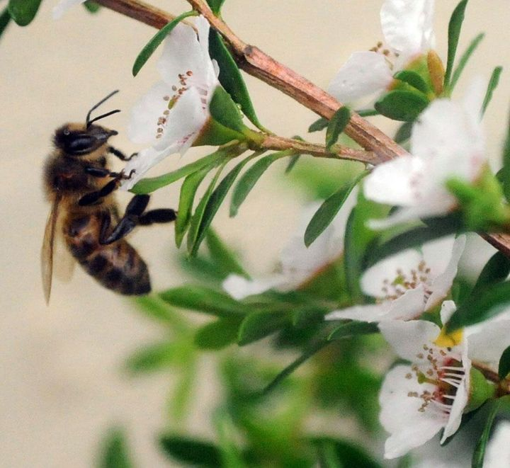 A bee hovers near the flower of a manuka bush.