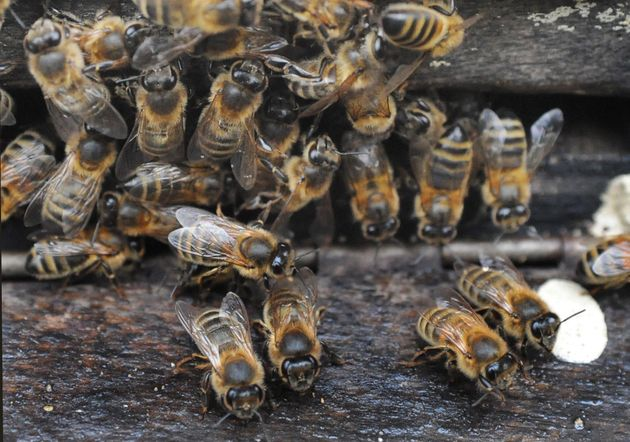 Bees at the entrance to a hive positioned close to manuka