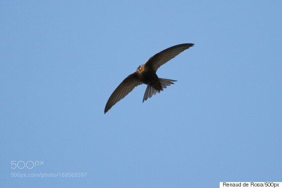 일생의 대부분을 날아다니는 새의 존재가