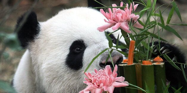 Kai Kai, a male Giant Panda sniffs at his custom-made birthday cake of bamboo, flowers and vegetables,...