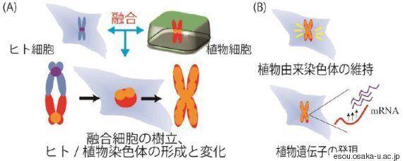 일본에서 세계 최초로 인간과 식물의 세포 융합 실험이