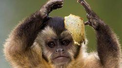 원숭이들도 구석기인처럼 돌을 깨서 석기를