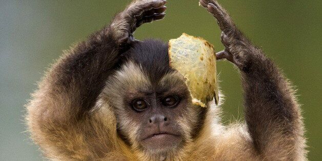 A black cap capuchin monkey plays with some food in its enclosure at the Olmense Zoo in Olmen, Belgium,...