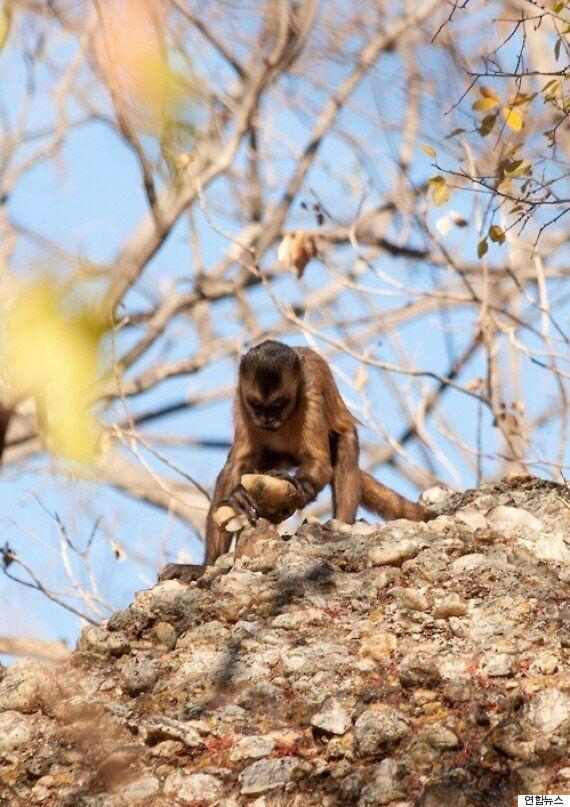 카푸친원숭이들이 구석기인처럼 돌을 깨서 석기를 만드는 것이
