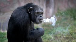 평양 동물원에 담배 피우는 침팬지가