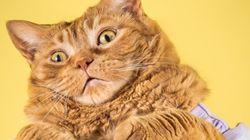 이 고양이들은 뚱뚱하고, 거대하고, 사랑스럽다!