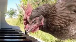 닭의 피아노 연주가 마음을 흔들