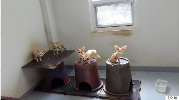 밀수입 적발된 뒤 살아남은 사막여우 새끼