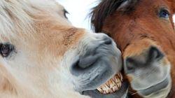 한라산에서 실종됐던 말 20마리가