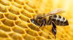 미국에서 '꿀벌'이 최초로 '멸종위기 생물'로