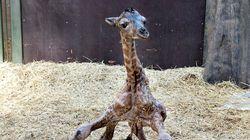 2년 전에 '남는' 기린을 죽였던 덴마크 동물원에서 아기 기린이