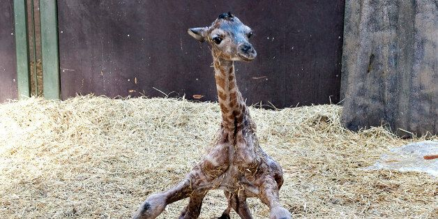 A giraffe foal tries to stand shortly after being born at Aalborg zoo in northern Jutland February 11,...
