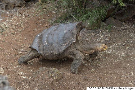 100살 거북이는 섹스를 정말 좋아한다. 그래서 종족의 번영에 큰 역할을 하고