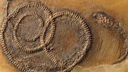 벌레를 먹은 도마뱀을 먹은 뱀의 화석이