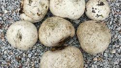 세계적인 희귀종 댕구알 버섯이 12개나 발견된 남원의