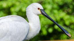 멸종위기 저어새, '새만금'에서 사라질 위기에