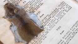 17세기 책 속에서 발견된 납작한 생쥐 사진으로부터 눈을 떼긴 어려울