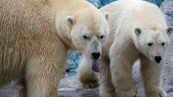 북극곰에 포위당했던 과학자들이 가까스로