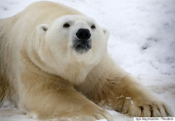 북극곰 14마리에 포위당했던 러시아 과학자들이 가까스로