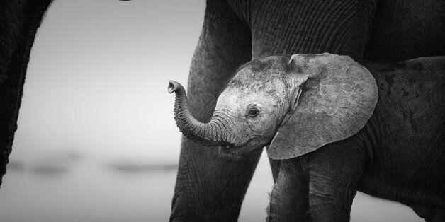 과학자들이 알아낸 '아프리카 정글 코끼리가 새끼를 낳지 않으려는 이유'는 몹시