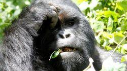 인간과 가장 가까운 유인원들이 급격하게 멸종으로 치닫고