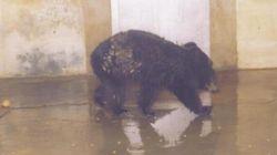 '남북교류동물' 반달가슴곰 으뜸이가 세상을